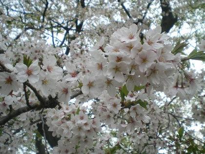 ココと桜 016.jpg