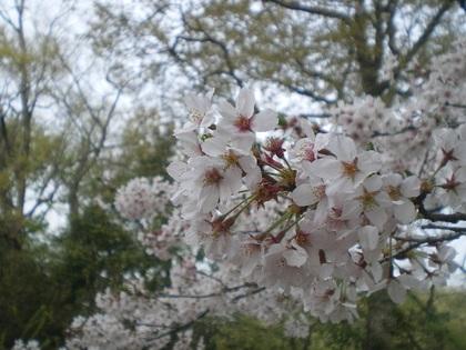 ココと桜 017.jpg