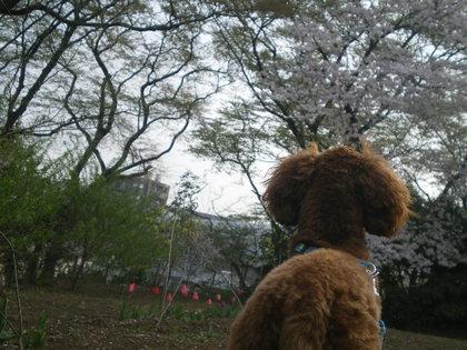 ココと桜 018.jpg