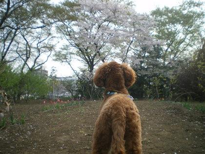 ココと桜 020.jpg