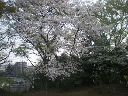 ココと桜 022.jpg
