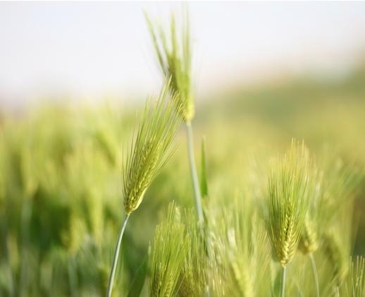 二条大麦2.JPG